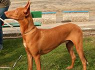 血统最高贵的狗法老王猎犬图片