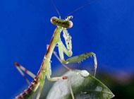 绿色昆虫中华螳螂微距图片