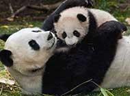 国宝熊猫可爱胖胖写真组图