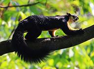 印度巨松鼠图片动作迅捷灵敏