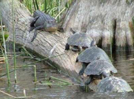 动物恶搞图片之忍者神龟原型