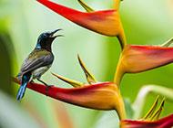 羽毛斑斓的最小型鸟类蓝喉太阳鸟图片