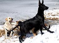 中华黑狼犬冬日雪地玩耍图片
