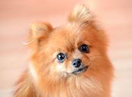 温顺的棕色博美犬可爱图片