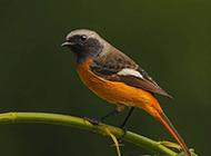 北红尾鸲栖息图片