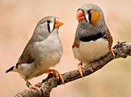 灰珍珠鸟甜蜜嬉戏图片