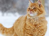 雪地上的美国金虎斑猫图片