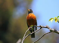 黑喉红尾鸲幼鸟图片赏析
