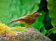 最新高清画眉鸟戏水图片