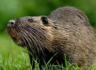 加拿大海狸鼠觅食图片