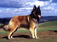 德国狼犬户外帅气写真图片