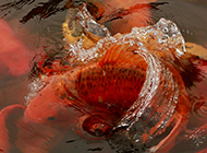 大红锦鲤水中欢腾图片