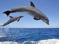 一对彼此相拥相随的海豚图片