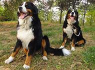 勇敢帅气的伯恩山犬图片
