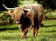 温顺可爱的草原牛群图片