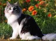 名猫挪威森林猫唯美写真壁纸