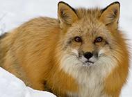 企鹅雪狐野生动物图片合集
