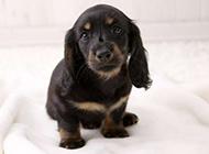 家养宠物狗动物图片合集