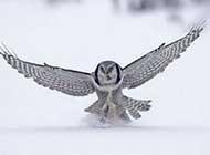 美丽的雪鸮唯美高清图片
