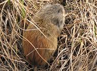 身材肥嘟嘟的旅鼠图片