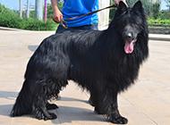 长毛黑色比利时牧羊犬帅气户外写真图片