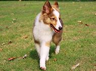 草地上漫步的喜乐蒂牧羊犬图片大全