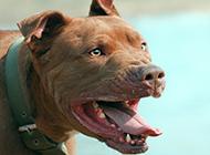 美国比特犬凶猛图片
