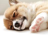 威尔士柯基犬懒洋洋睡觉图片