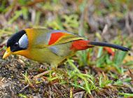 田野觅食的银耳相思鸟图片