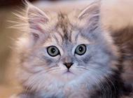金吉拉猫表情惊讶图片