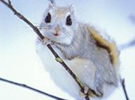 西伯利亚小飞鼠图片萌萌哒