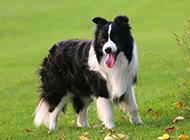 宠物狗边境牧羊犬公园玩耍图片