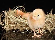 刚出生的可爱小鸡萌图