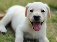 三个月拉布拉多犬吐舌头表情图片