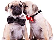 中国沙皮犬创意写真图片