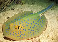 奇特长相的淡水鳐鱼图片