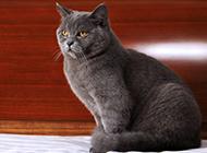 蓝色英短猫图片神态安静优雅