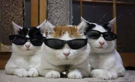 搞怪墨镜猫咪图片