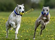 草地上惠比特犬欢乐嬉戏图片