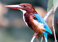 刺鸟又名荆棘鸟图片欣赏