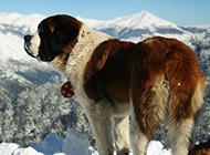 温顺宽容的圣伯纳犬图片