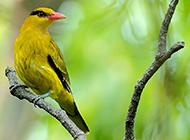 机灵优雅的金黄鹂鸟图片