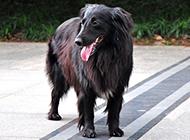 超萌狗狗比利时牧羊犬图片