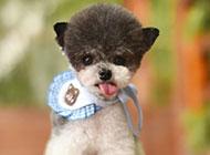 萌宠狗狗小型吉娃娃卖萌高清壁纸图片