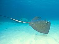 深水海域的黑色鳐鱼图片