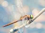 夏天蜻蜓池塘栖息图片