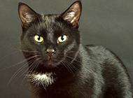 眼睛炯炯有神的孟买猫图片