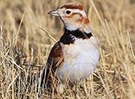 可爱的俄罗斯百灵鸟图片