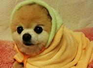 哈多利俊介犬穿衣服图片