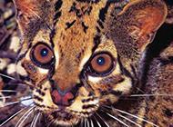 稀少的动物云猫图片大全